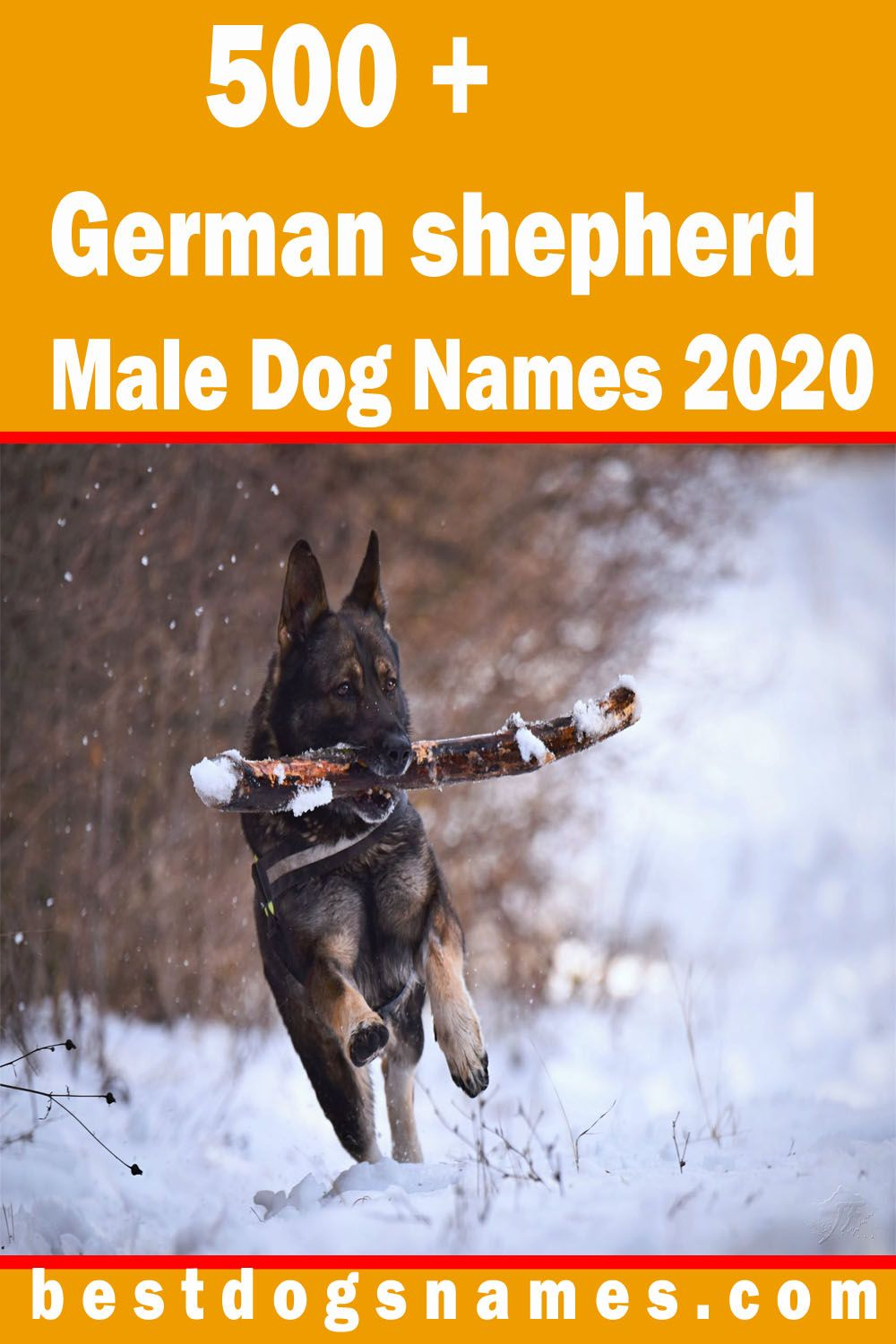 The German Shepherd Male Dog Is A Very Intelligent Active And