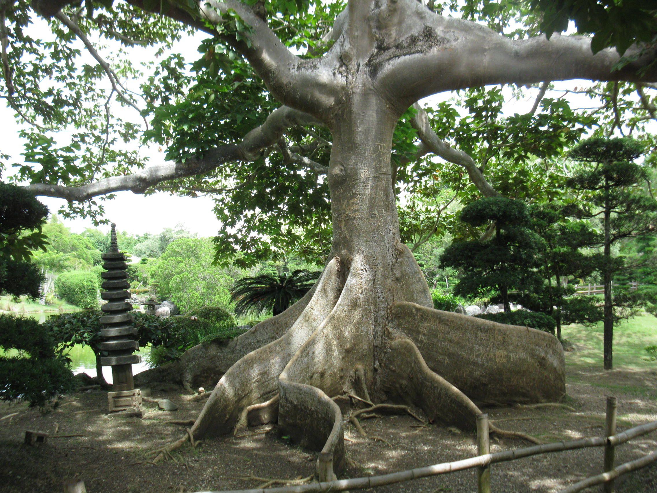 Tronco del arbor anacahuita en el jard n bot nico santo for Jardin botanico el ejido