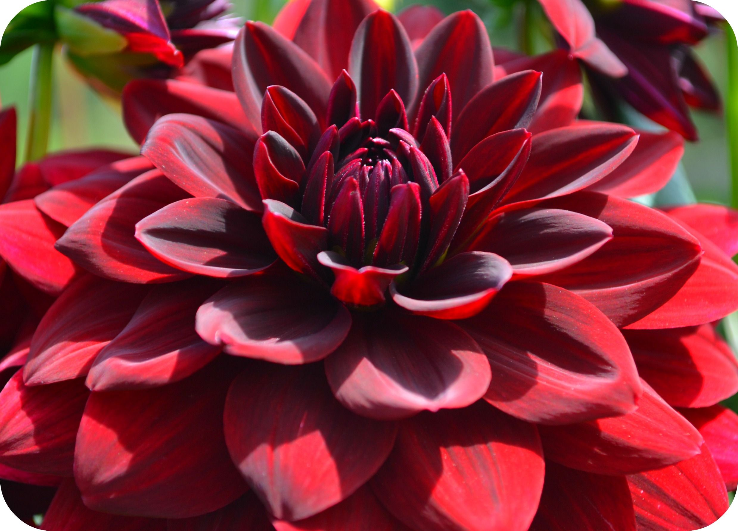 Delightful Dahlias Flower Desktop Wallpaper Dahlia Flower Dahlia Flower Pictures