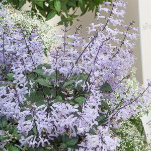 Hybride 'Mona Lavender'