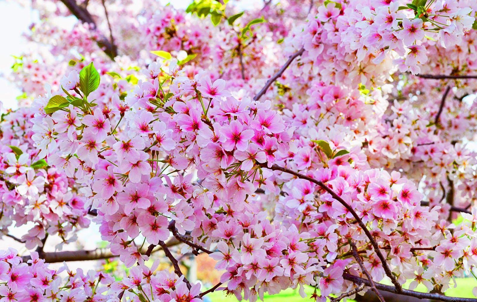 Gambar Bunga Sakura Berjatuhan (Dengan gambar) Bunga