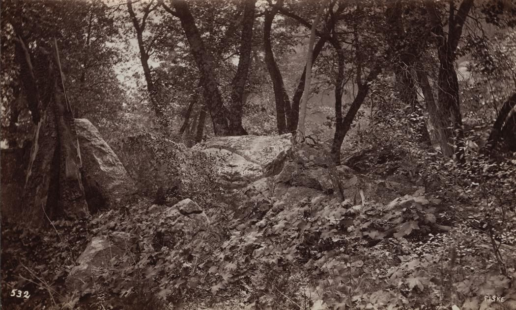 GEORGE FISKE  1835 - 1918 Tree Study, Yosemite Valley. ca. 1878-1884