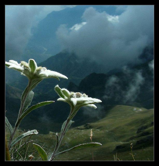 Unbeeindruckte Natur Nature Photo Edelweiss Flower