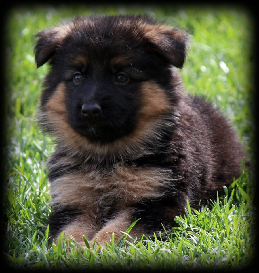 We Proudly offer Trained German shepherd Puppies for Sale