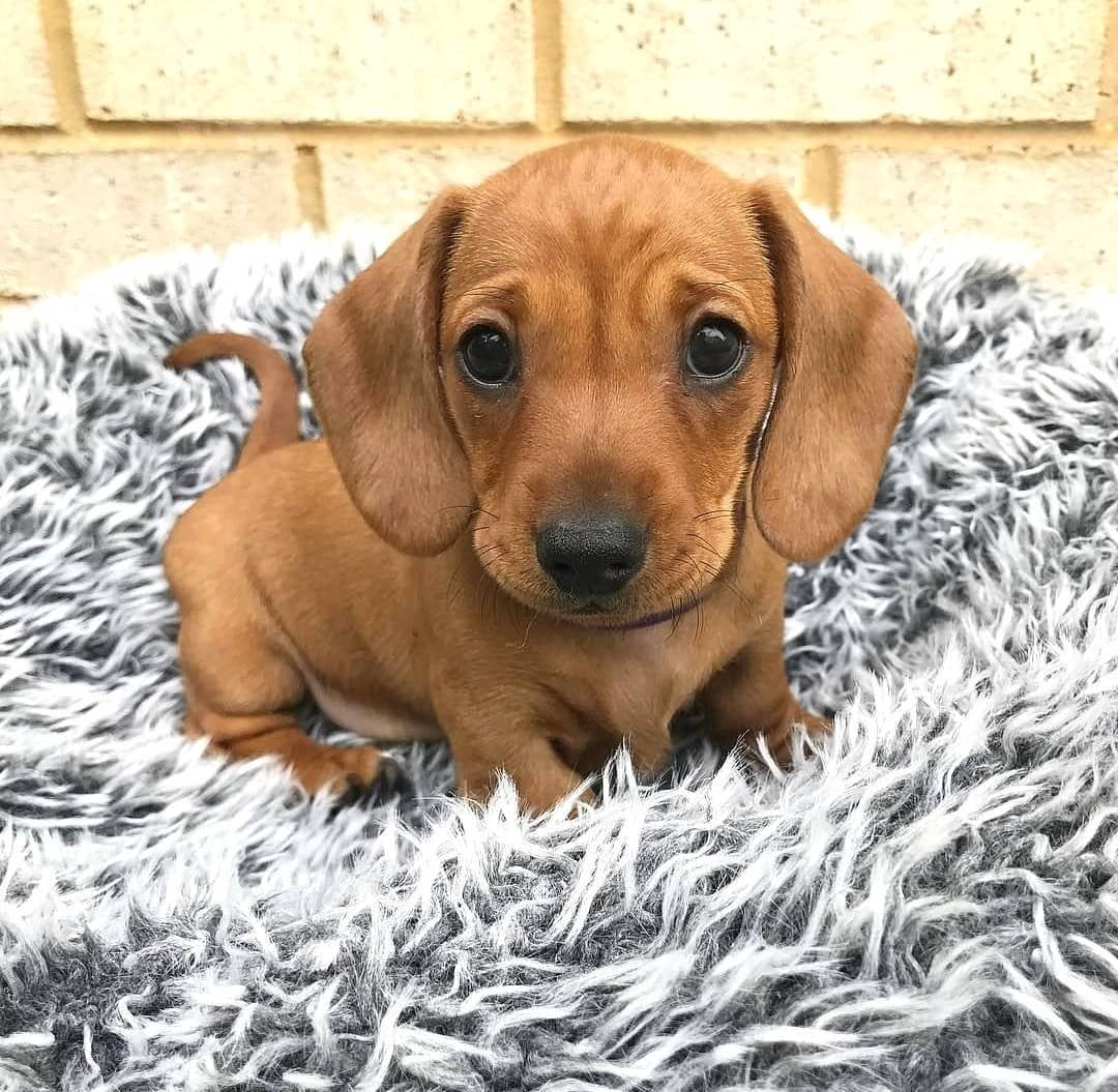 Dachshund Appreciation On Instagram Who Else Could Just Squish