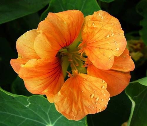 Nasturtiums are an edible and medicinal flower and herb that are high in vitamin C and have potent anti-viral and antibiotic properties