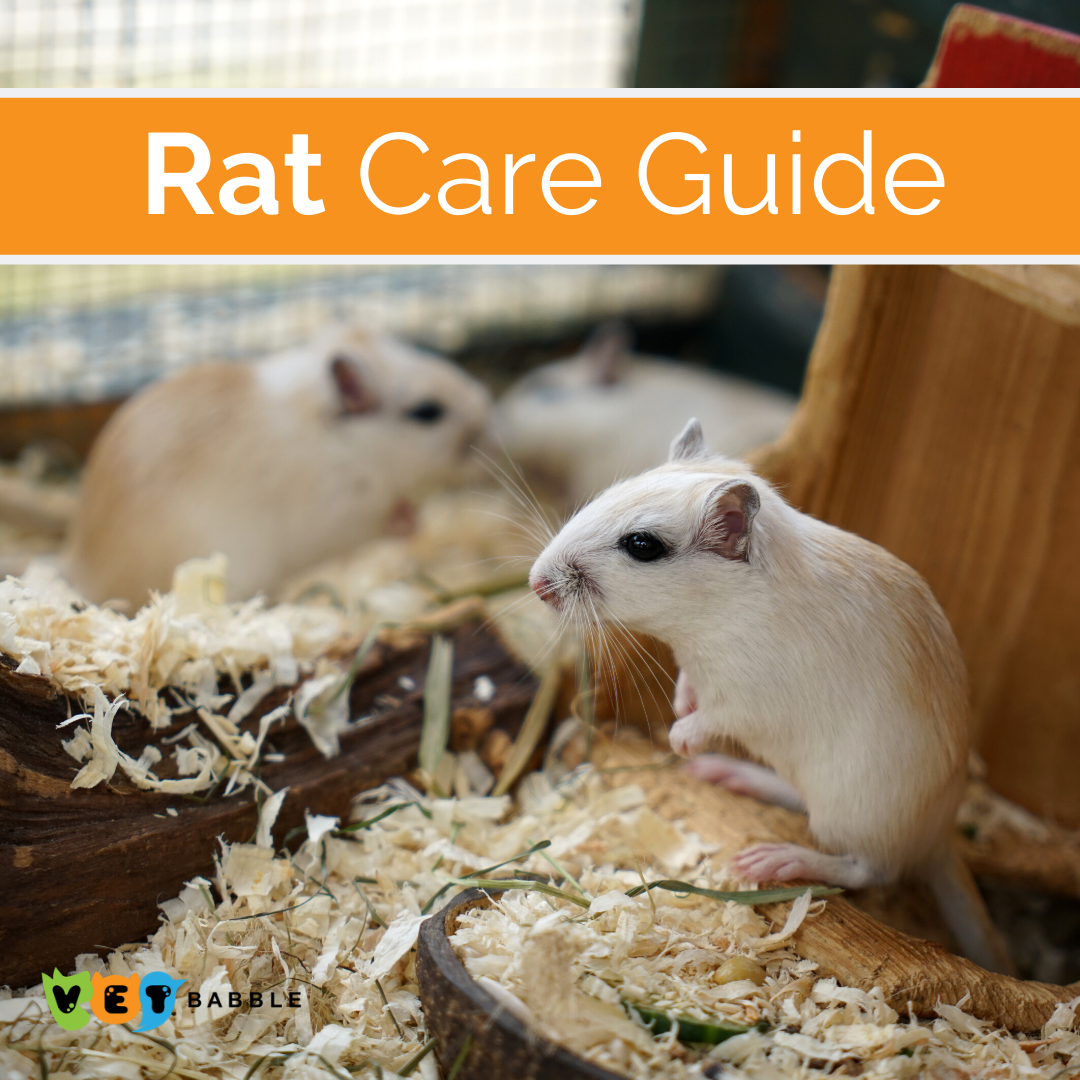 Rat Care Caring For Pet Rats Vetbabble In 2020 Rat Care Pet Rats Easy Pets