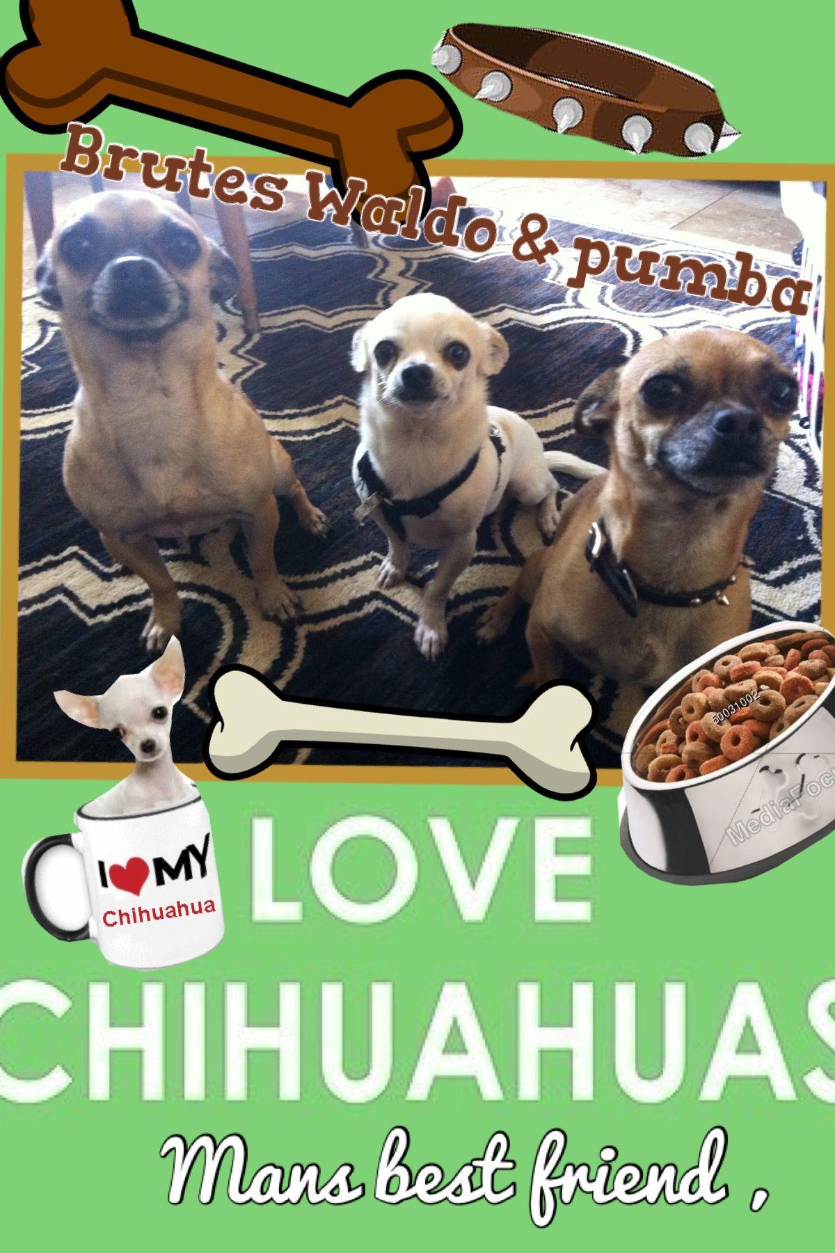 My dogs ,;) I love chihuahuas!