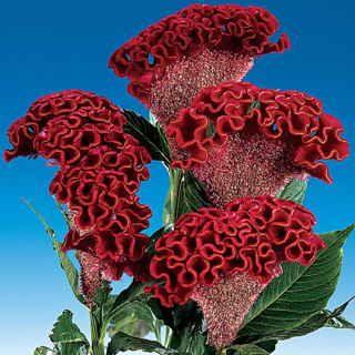 Bombay Dark Red Cockscomb Seeds Flores Maravilhosas Flores Estranhas Flores Exoticas