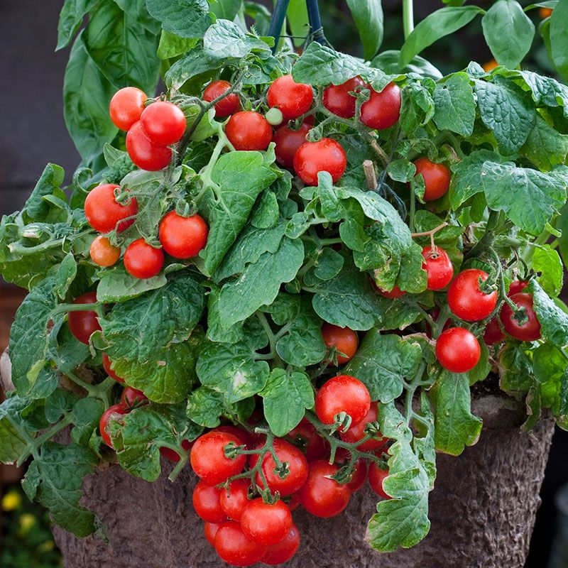Red Robin Cherry Tomato Heirloom Tomato Plants Heirloom Tomato Seeds Tomato Seeds