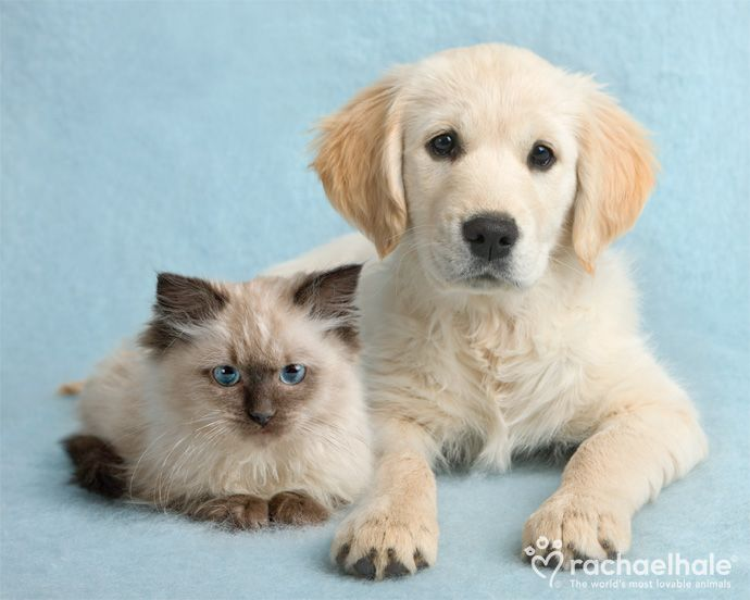 Clara And Cassie Ragdoll And Golden Retriever True Blue