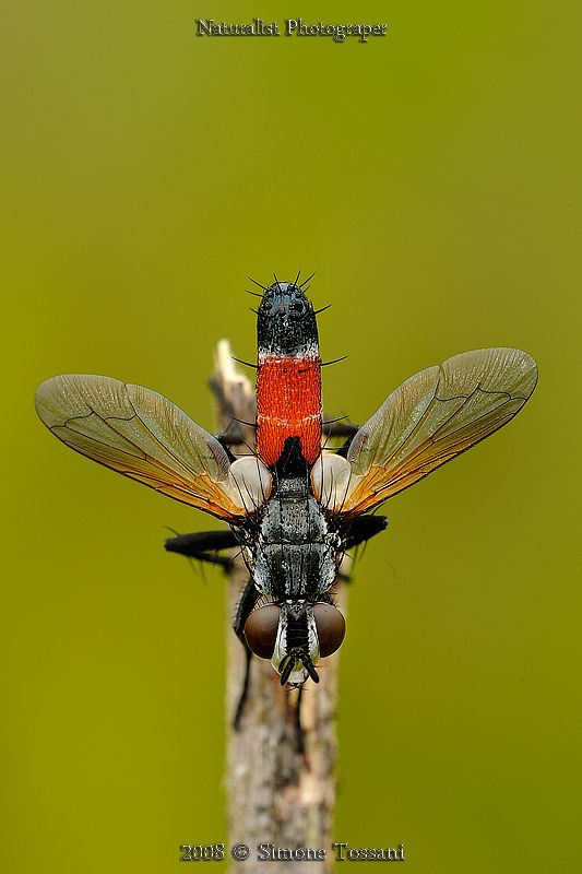 Tachinid Fly (Cylindromyia Brassicaria) ~ By Simone Tossani