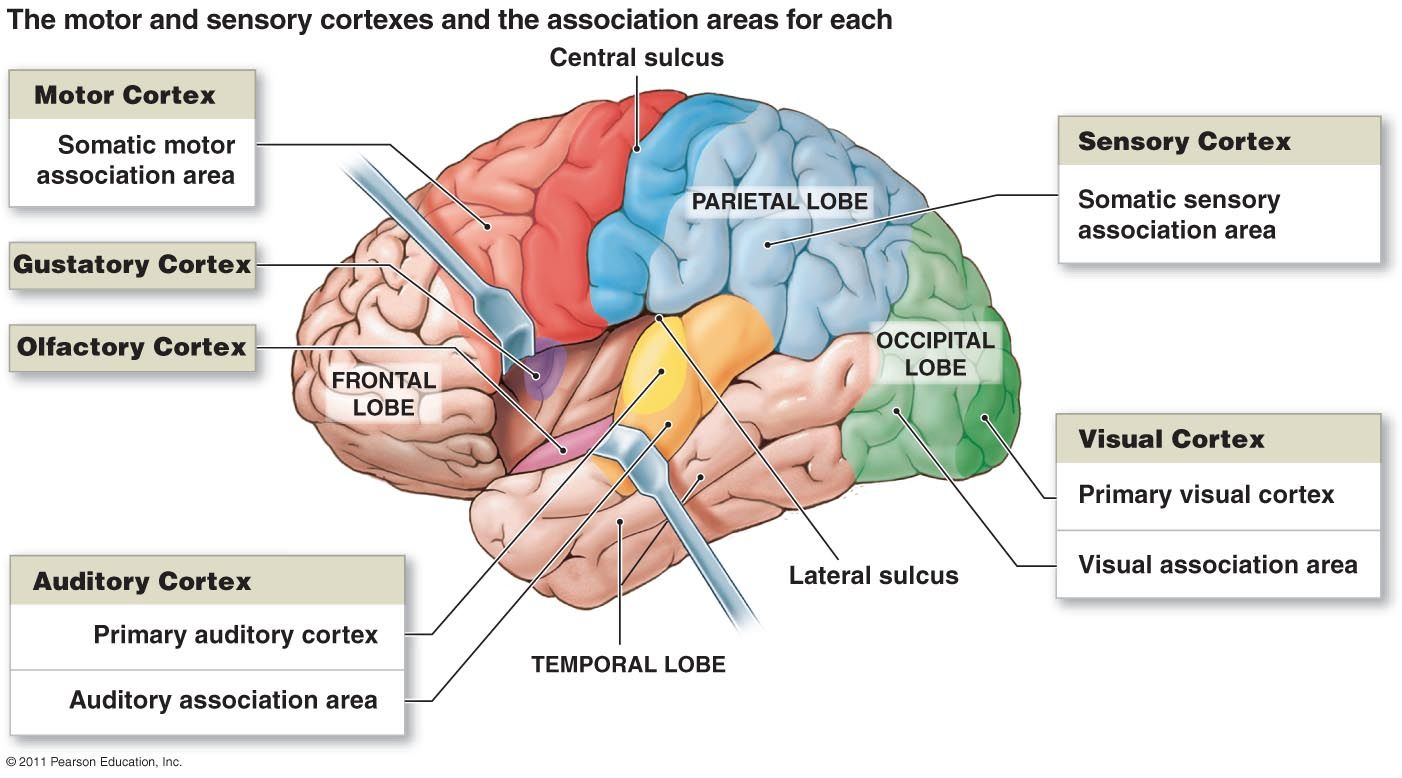 Motor and sensory cortexes and the association areas for each ...