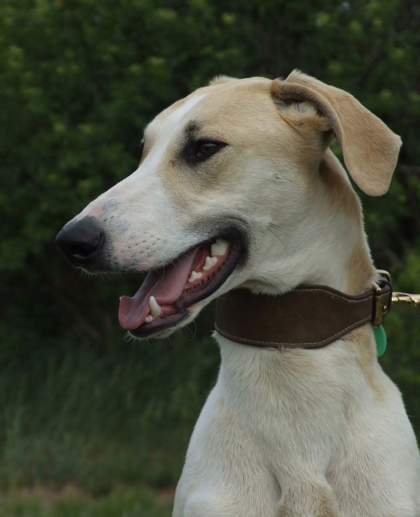 Magyar Agar Hungarian Greyhound Sighthounds Dogs Puppy