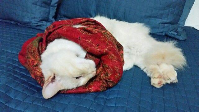 Gato enrolado no encharpe vermelho...