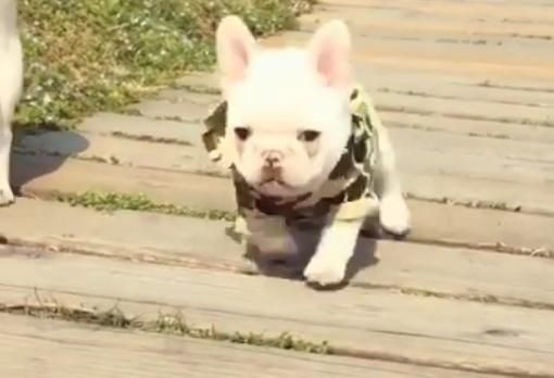 Running French Bulldog Puppy Trips And Falls Favorite Places