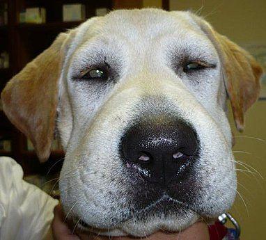Réaction anaphylactique chez le chien : -Enflure de la face -Excitation puis Vomissement -Défécation/miction -Faiblesse musculaire -Convulsions -Dyspnée -Coma -Mort
