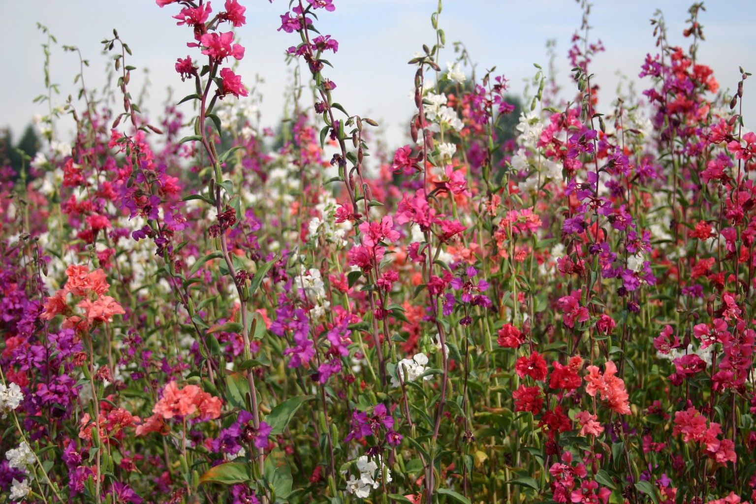 Clarkia Mountain Garland Formula Mix Organic Plants Perennial Garden Perennials