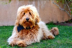 Beau Monde Breeding The Finest Australian Labradoodles In Riverside California Golden Labradoodle Puppies For Sale Labradoodle Breeders Australian Labradoodle