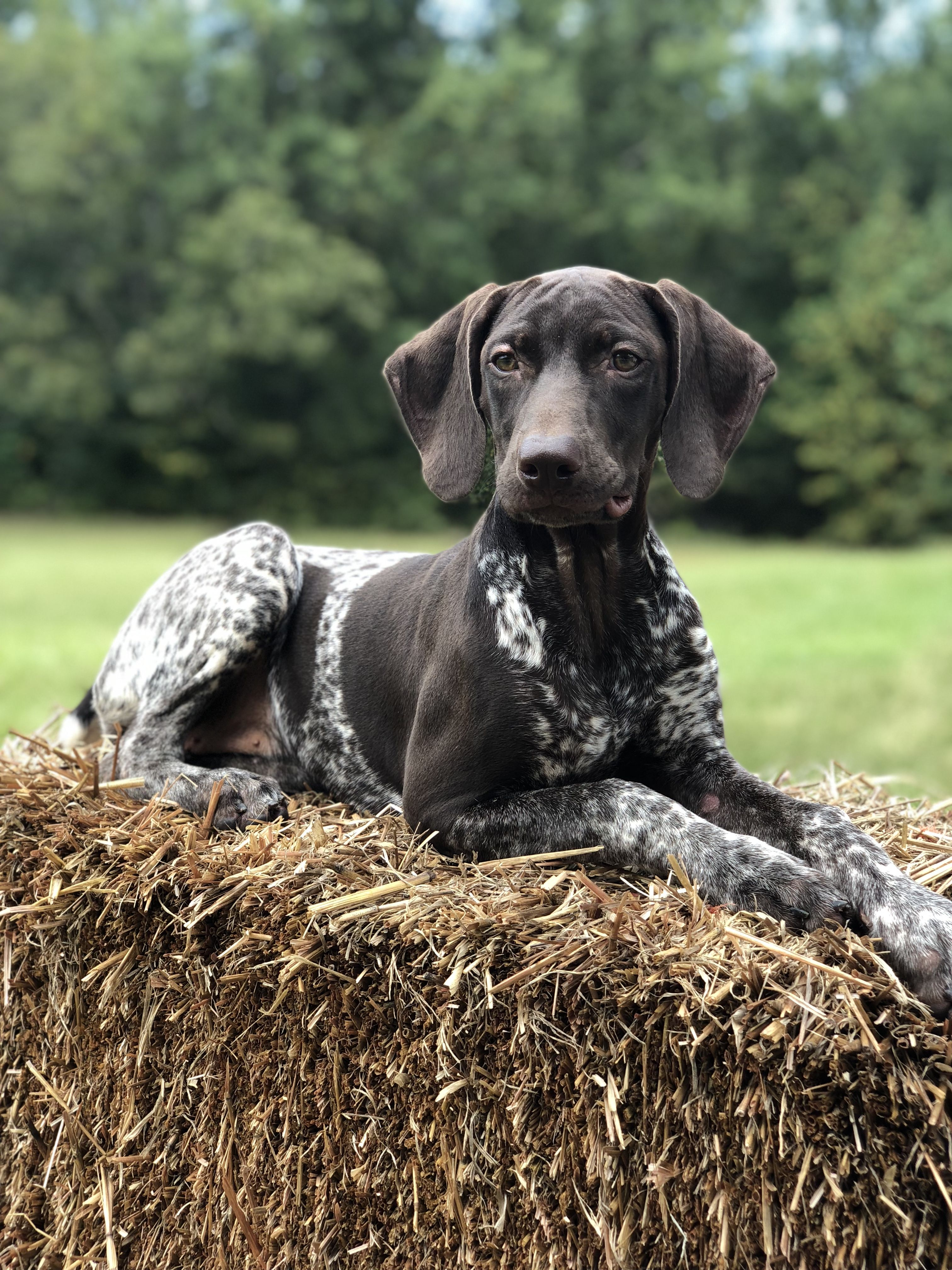 Pin By Cag On Hunting Working Dogs German Shorthair Dogs