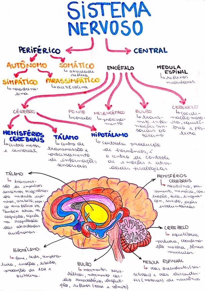 Sistema nervoso | medicina | Pinterest | Biología, Medicina y Anatomía