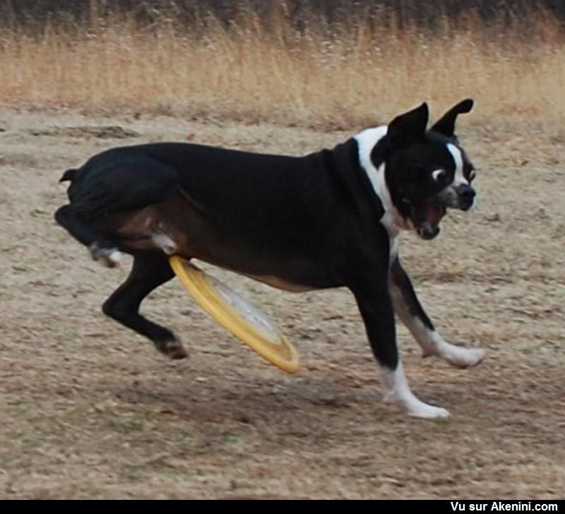 Un coup de frisbee mal placé - A dog is about to get hit in the balls by a frisbee