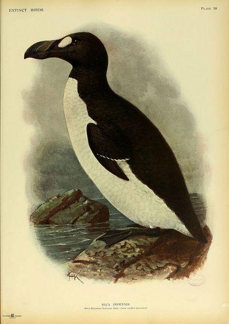 great auk (Pinguinus impennis), north atlantic - extinct. extinct birds, london: hutchinson, 1907.