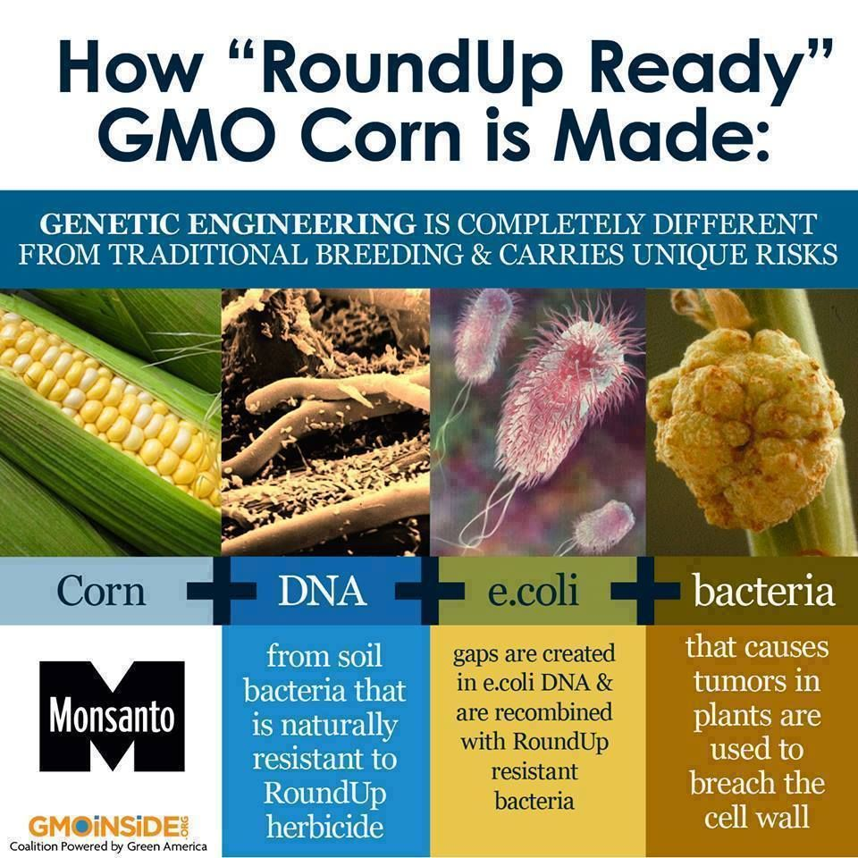 "Have you ever wondered how GMO corn is made? Roundup Ready Corn is genetically engineered corn that has had its DNA modified to withstand the herbicide glyphosate (the active ingredient in Monsanto's herbicide Roundup). It is also known as ""glyphosate tolerant corn."" One variety of RR Corn, NK603, was linked to tumors in rats in the Seralini study last year. Read the full details in the study here: http://gmoseralini.org/wp-content/uploads/2012/11/GES-final-study-19.9.121.pdf #GMOs…"