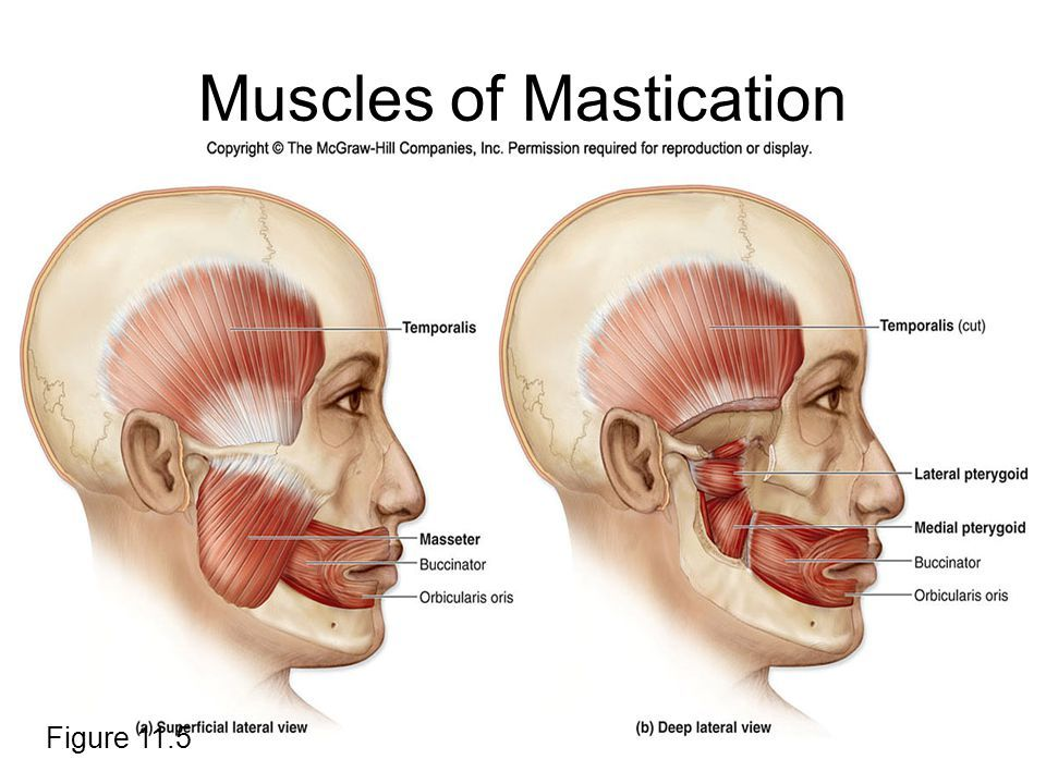 muscles of mastication | Teeth Stuff. | Pinterest | Muscles