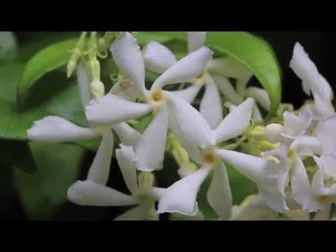 jasmin toil trachelospermum jasminoides faux jasmin sam au jardin sam au jardin jardin. Black Bedroom Furniture Sets. Home Design Ideas