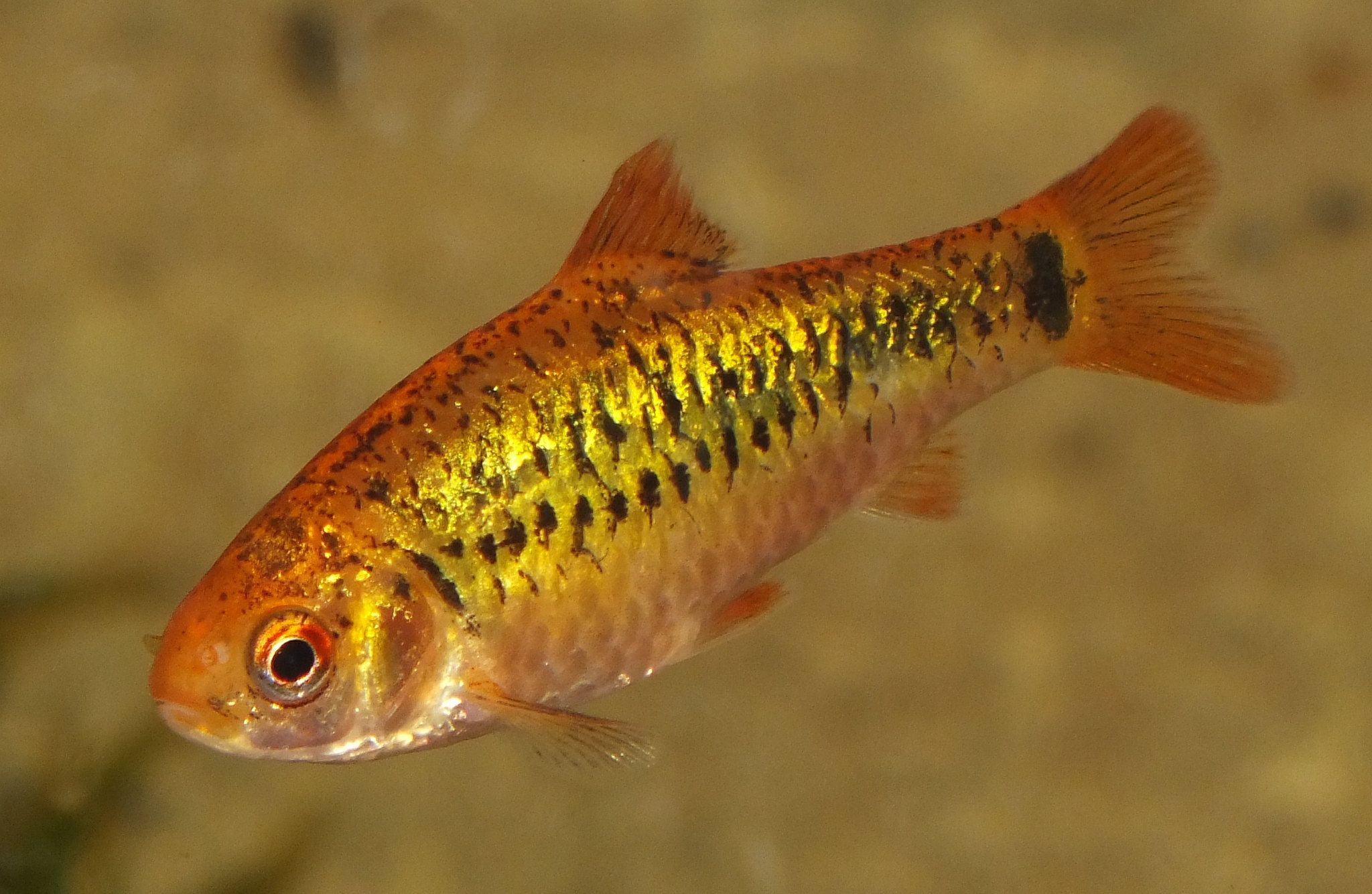 Gold Barb Puntius Semifasciolatus Fish Pet Pets Fish