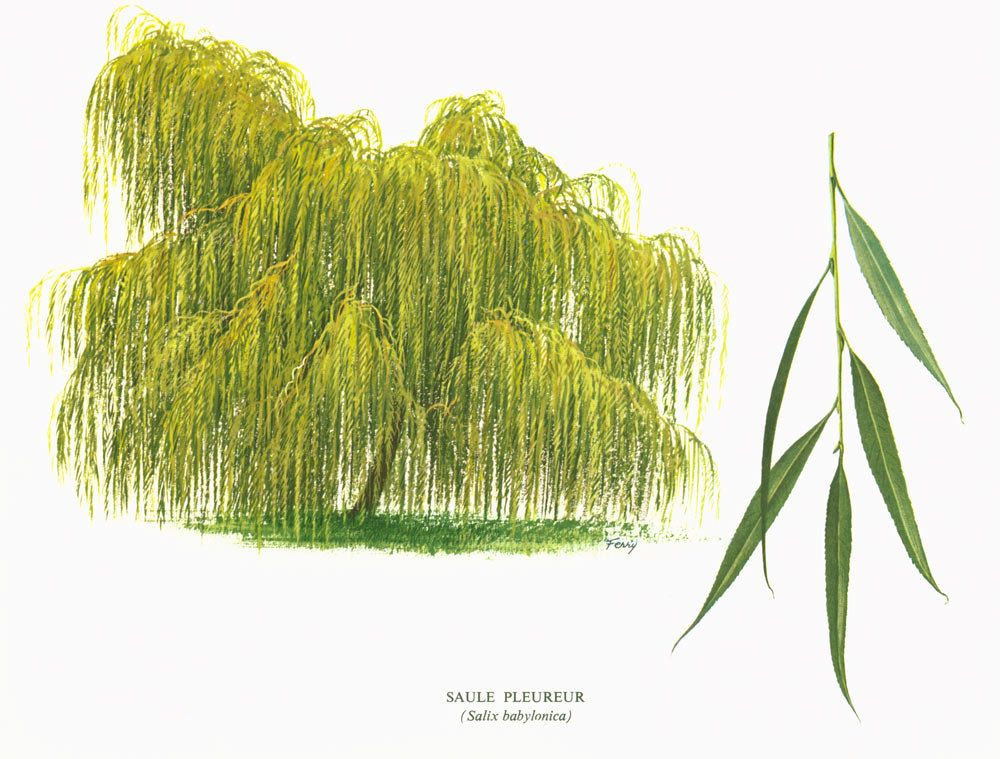 1967 Weeping Willow Babylon Tree Print Vintage Botanical ...