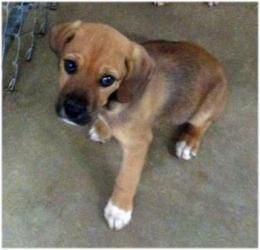 Adopt Cur/boxer pups on Boxer puppies, Black mouth cur