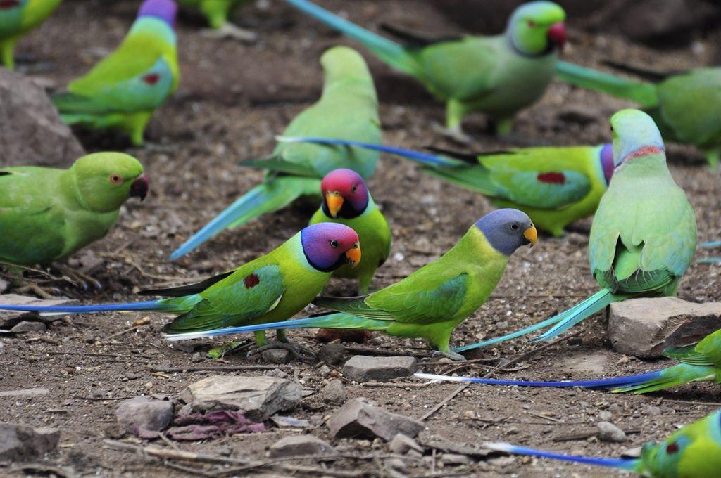 Asian ringnecked parakeets, tube style smoking porn movies