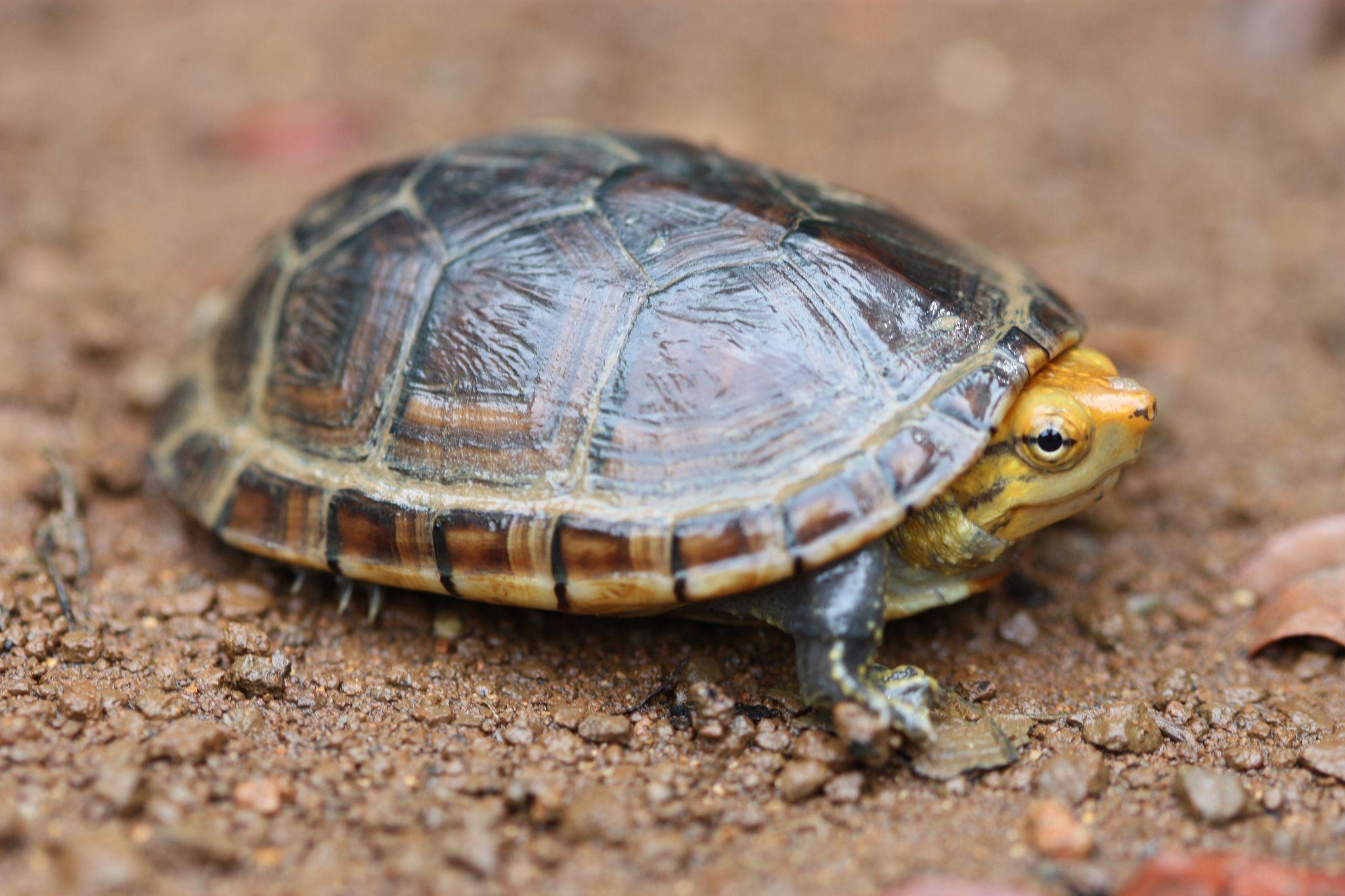 Aquatic Turtles For Sale Near Me Turtle Care Turtle Pets