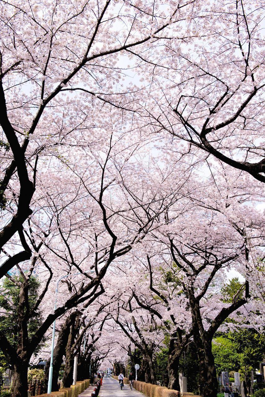 21 Most Beautiful Japanese Cherry Blossom Photos Japanese Cherry Blossom Cherry Blossom Painting Cherry Blossom