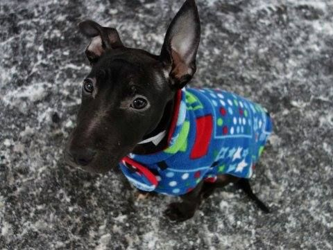 SAFE 1/21/15 (by PMAR) --- Manhattan Center   SKY - A1024965  FEMALE, BLACK / WHITE, PIT BULL MIX, 5 mos STRAY - STRAY WAIT, NO HOLD Reason STRAY  Intake condition EXAM REQ Intake Date 01/07/2015, From NY 10453, DueOut Date 01/10/2015 https://www.facebook.com/photo.php?fbid=941761685836711 +++++++++BABY - ALERT++++++++