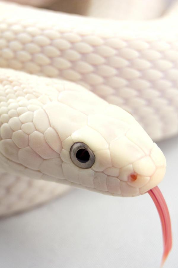 Animal Kingdom おしゃれまとめの人気アイデア Pinterest Ildiko Sz Baranyi 美しいヘビ ヘビ 動物