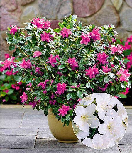 Durchbluhende Azalee Bloom Champion Weiss 1 Pflanze Pflanzen Azaleen Immergrune Pflanzen