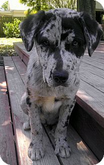 Success Adopted Catahoula Leopard Dog Mix Puppy For Sale In Baton Rouge Louisiana Catahoula Leopard Dog Catahoula Leopard Dog Catahoula Leopard Dog Puppy