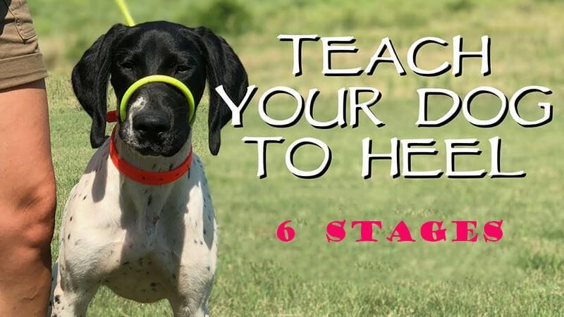 Teaching A Dog To Heel In 6 Simple Stages By Jun Liu