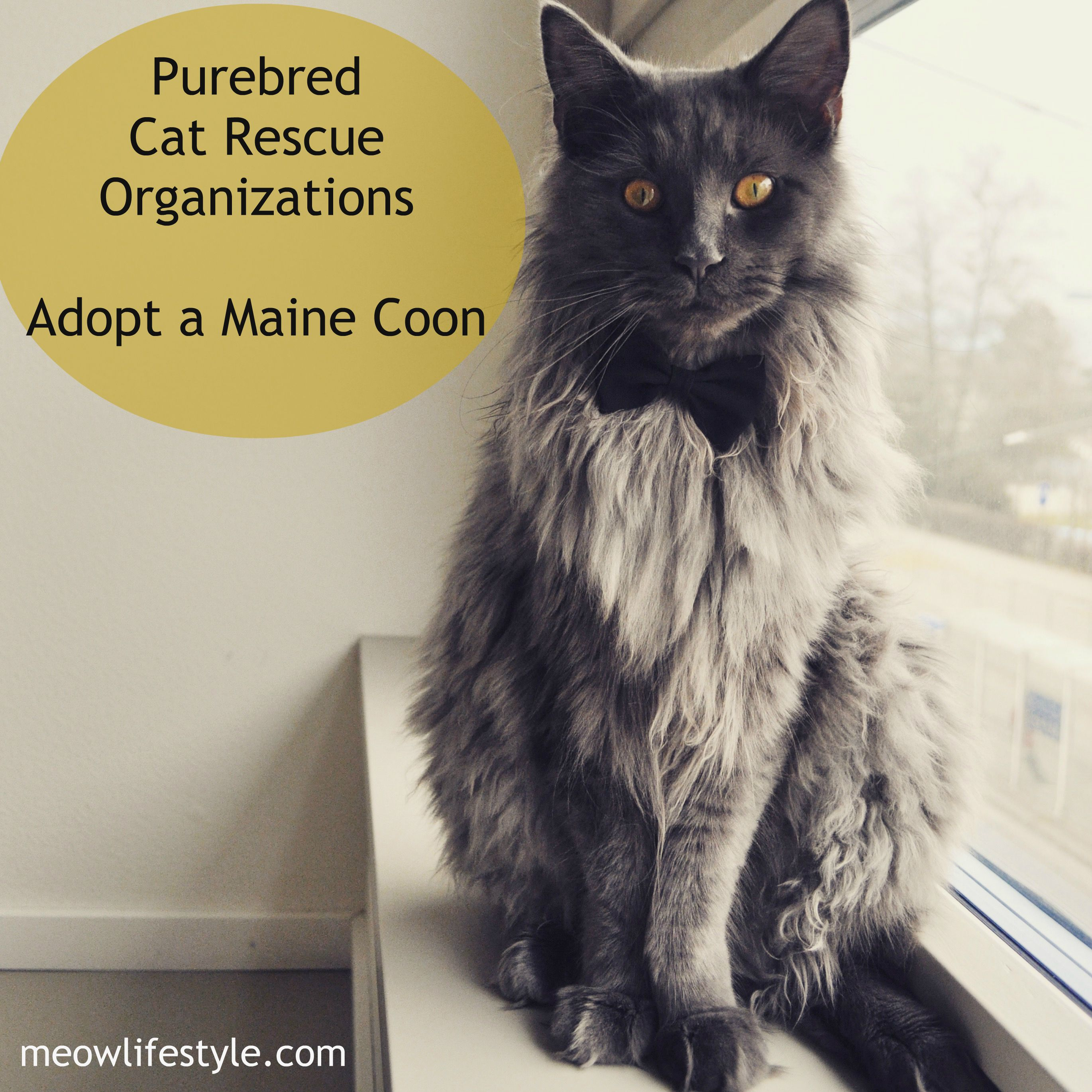 Purebred Cat Rescue and Adoption Purebred cats, Maine