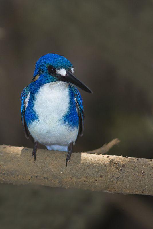 Little Kingfisher (Alcedo pusilla) at Rapid Creek ...
