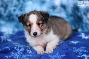 sheltie puppies east tennessee