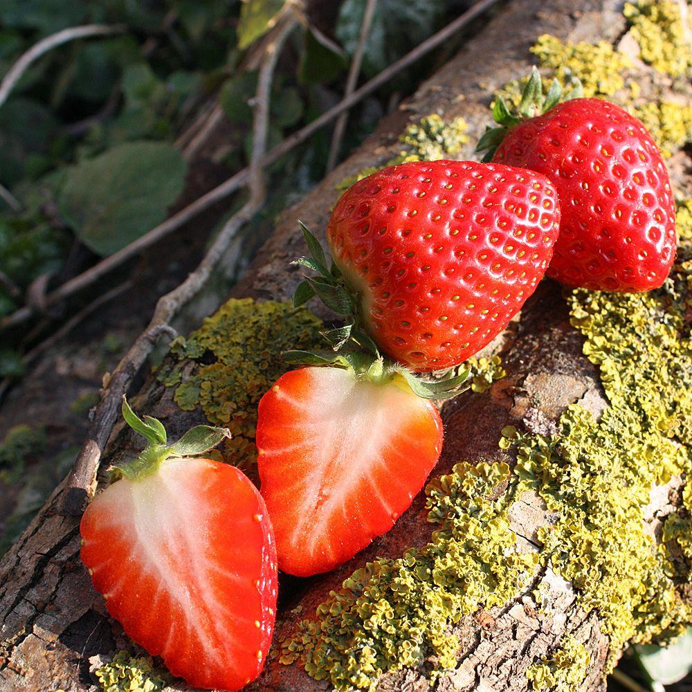 Erdbeere Ostara Garten Blumen Und Pflänzchen Erdbeere Ostara