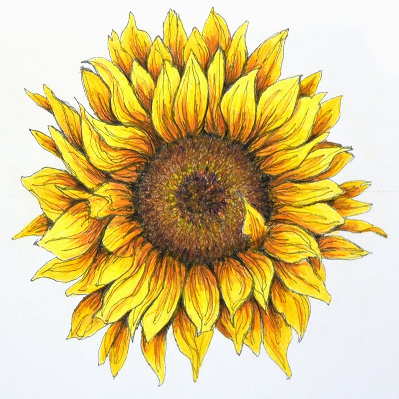 Sunflower In Pen And Colored Pencil Sunflower Artwork Sunflower Drawing Sunflower Sketches