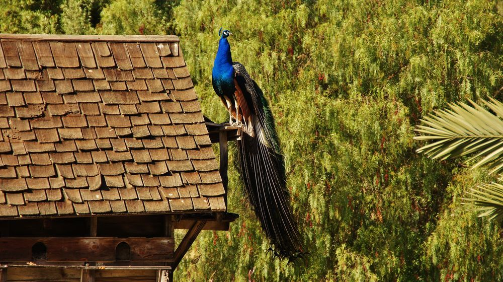 Perched Peacock Photo By Dino De Leon National Geographic Your Shot Peacock Photos National Geographic Your Shot