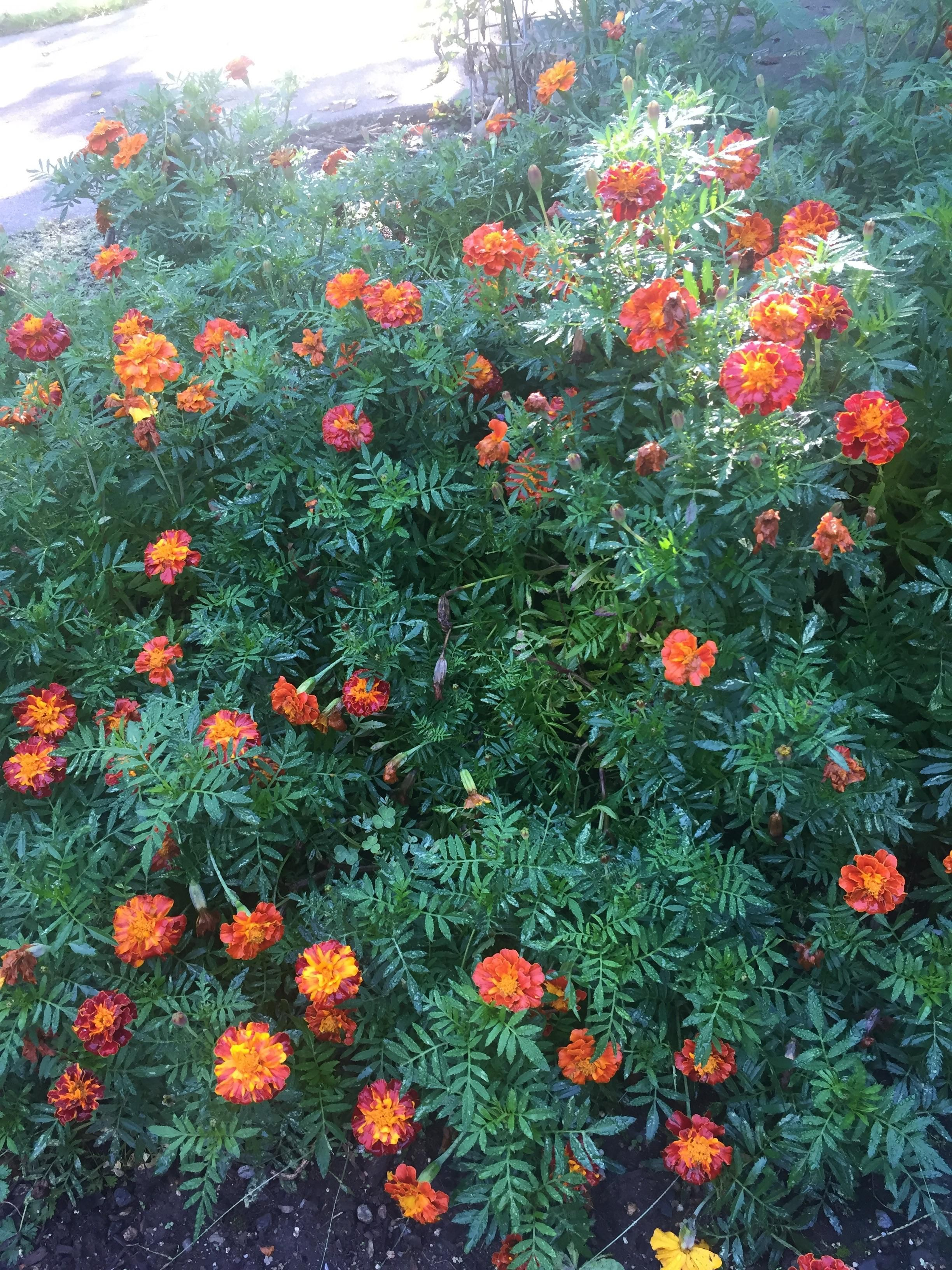 Marigold Bush Is Staring To Succumb To Its Annual Lifespan Still Beautiful Gardening Garden Diy Home Flowers Roses Nature L Bush Beautiful Horticulture