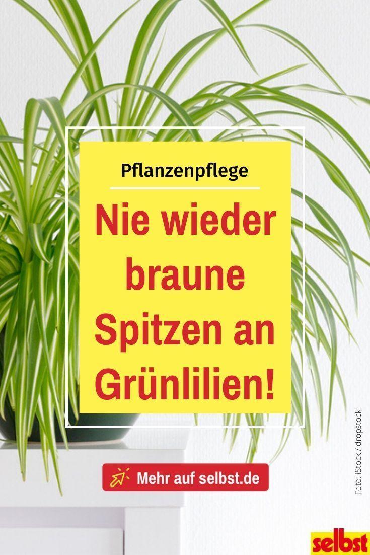 Photo of Grünlilie pflegen | selbst.de