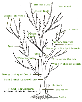 Apple tree pruning google search pruning pinterest tree apple tree pruning google search ccuart Images